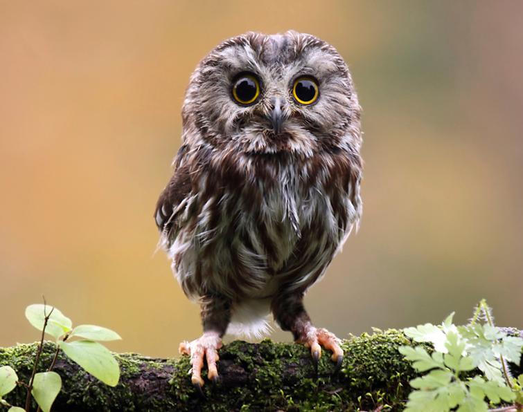 audubon to host talk on northern saw whet owl populations in georgia